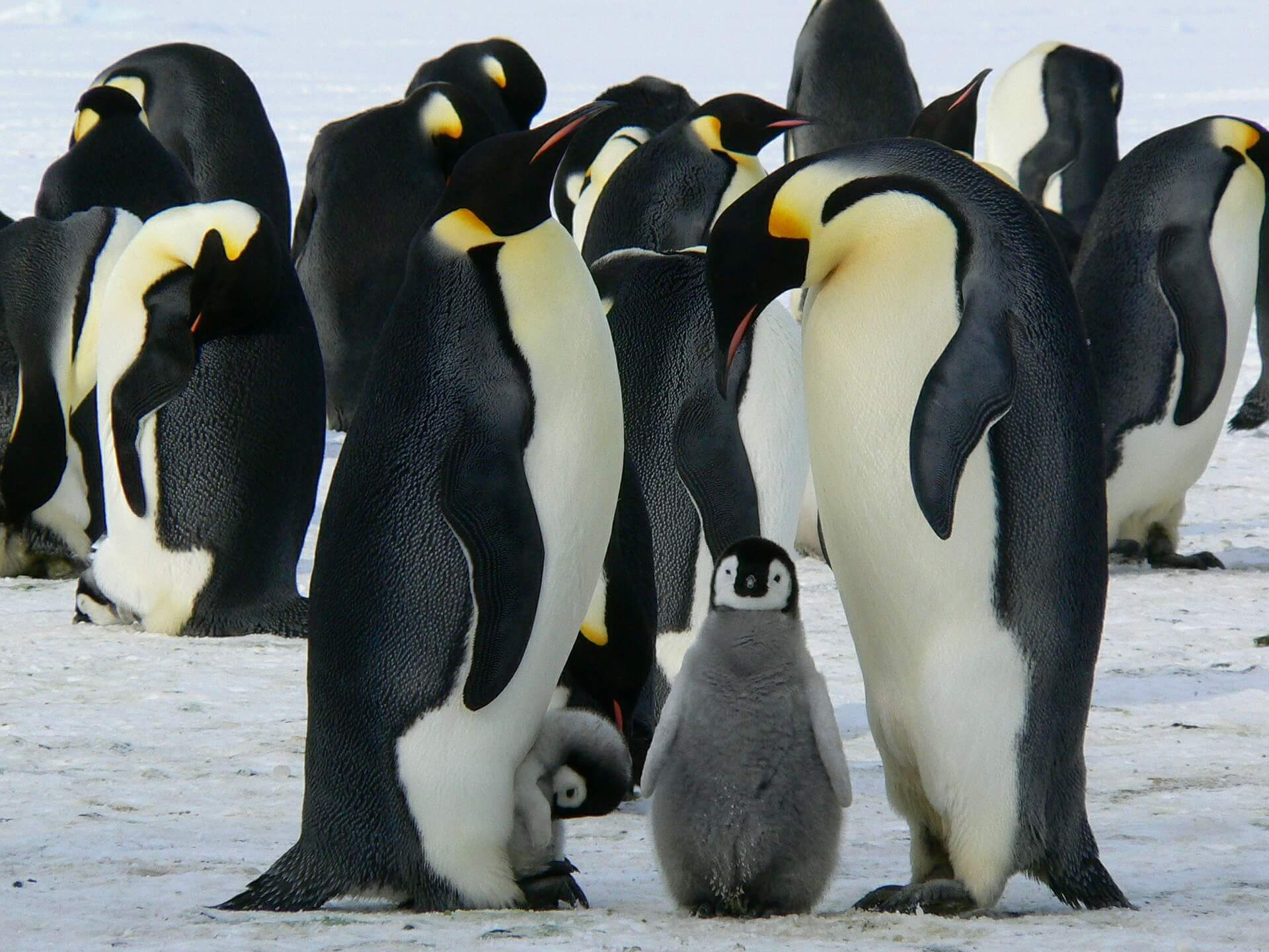 Penguins Antarctica Pinnext